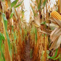 """Afecta plaga """"Mancha de asfalto"""" cultivos de maíz en Chilapa"""