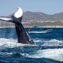 Ballena Jorobada, criatura más activa y acrobática de los océanos llega a Baja California Sur