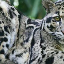 Reaparece leopardo nublado en bosques de Taiwán