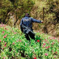 Piden senadores amnistía para campesinos que siembran amapola
