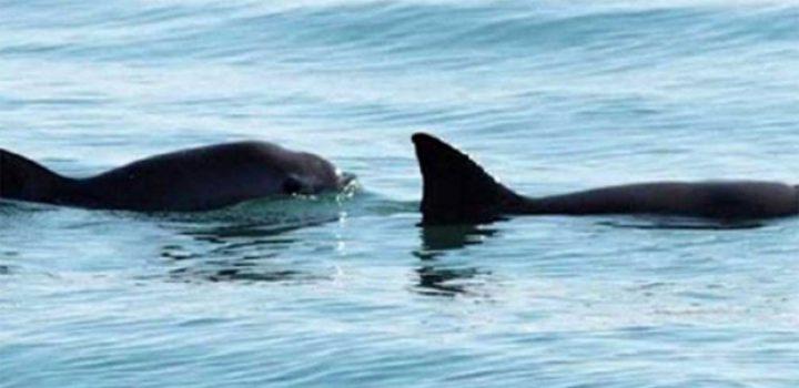 Desvían 7.2 millones de pesos destinados a protección de vaquita marina