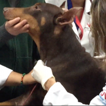 Perros con enfermedades infecciosas recobran salud en un día por uso de derivados sanguíneos