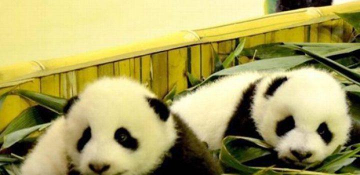 Pandas gemelos, promesa para la supervivencia de la especie