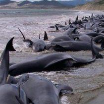 Quedan varadas 50 ballenas piloto en Islandia; mueren 20