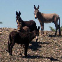 Matan a 42 burros en el desierto californiano; ofrecen recompensa