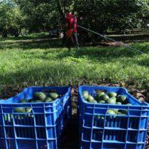 EU advierte castigo a zona aguacatera de Michoacán por violencia