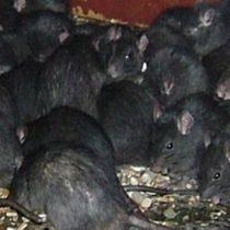 Detectan la presencia de rata negra en Madrid