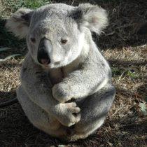 Oso, es el perro misionero que salva las koalas en Australia
