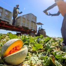 Covid-19 afecta a productores de melón en Oaxaca