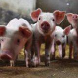 China halla muestras de Covid en carne de pescado y cerdo de AL