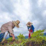 Mal año para la siembra de frijol en Durango