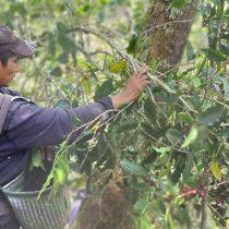 Productores de café en San Pedro Yosotatu, Tlaxiaco, luchan contra la crisis climática