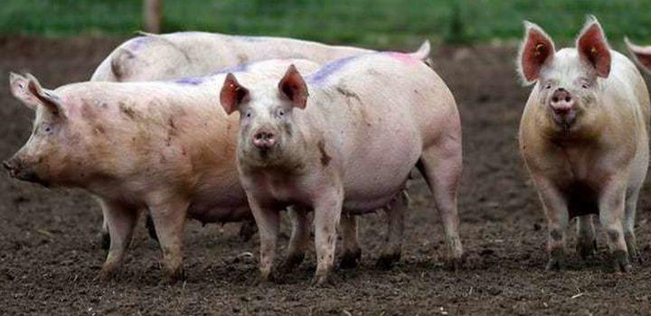 Declaran estado de calamidad en Filipinas por brote de peste porcina